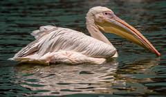 Pelikan (KaAuenwasser83) Tags: pelikan vogel wasser wasservogel federn zoo karlsruhe