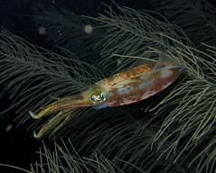 085-IMG_5244 (adrienweckel) Tags: adrienweckel calmarderécifdescaraïbes mollusques sepioteuthissepioidea