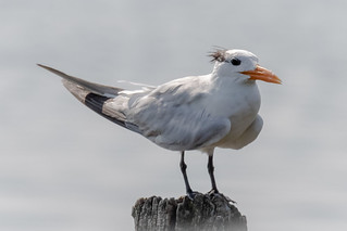Non-breeding Royal Tern