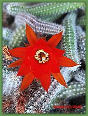 Cactus 20180707 (ferlomu) Tags: cactus ferlomu flor flower
