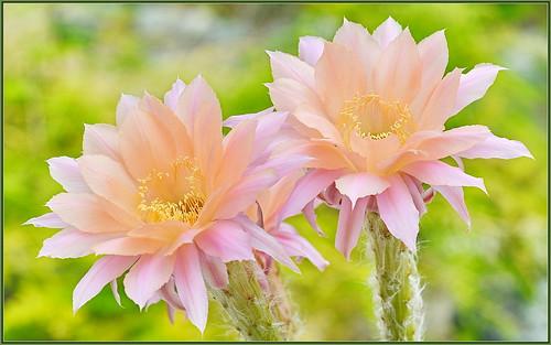 Peachy Cactus Blooms