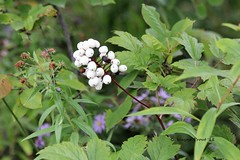 White Baneberry (Actaea pachypoda) (Gerald (Wayne) Prout) Tags: whitebaneberry actaeapachypoda plantae angiosperms eudicots ranunculales ranunculaceae actaea pachypoda poisonous plant plants wildflower wildflowers flowers berries white cluster nature bridgetobridgetrail mountjoytownship cityoftimmins northeasternontario ontario canada canon canoneos60d eos 60d digital dslr camera canonlensef70300mmf456isusm lens ef70300mmf456isusm macro photographed photography baneberry bridge trail mountjoy township city timmins northeastern northernontario northern vegetation green mattagamiriver mattagami river