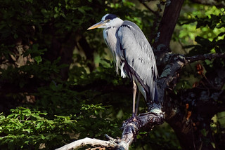 a Heron in a tree (3/3)