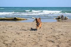 Laika corriendo por la playa (Hachimaki123) Tags: animal perro dog laika deltadelebre platjatrabucador