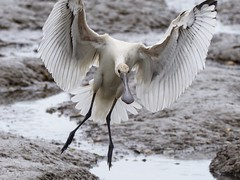 Spoonbill - Takeoff (kc02photos) Tags: spoonbill platalealeucorodia titchwell norfolk uk birdphotography