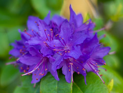 It Came from Outer Space (Katrina Wright) Tags: dsc7555 flowers rhododendron petals blue purple violet stamen