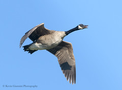 Canada Goose (Kevin James54) Tags: canadagoose lakegalena nikond850 peacevalleypark tamron150600mm animals avian bird brantacanadensis kevingianniniphotocom