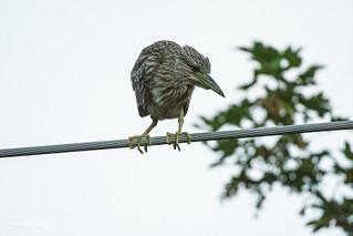 Black-crowned Night Heron-18-4