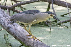 Wildwood Park Black Crowned Night Heron (freshairphoto) Tags: wading bird black crowned night heron log swamp canal towpath trail wildwood park lake harrisburg pa artspearingnikon d500 200500 zoom handheld