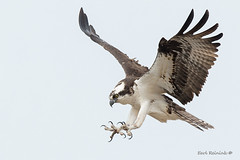 All claws (Earl Reinink) Tags: bird raptor animal osprey fish fishing nature wildlife claws wings earlreinink niagara rttahuhdza