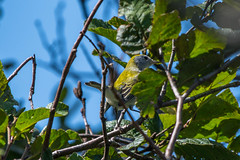 Chestnut-sided Warbler , Hwy 10 1km N of Bear Cove (frank.king2014) Tags: chestnutsidedwarbler cappahayden newfoundlandandlabrador canada ca