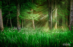 Shine a Light (Peeblespair) Tags: downtheroad home woodland wildflowers lightbeams forestlight august peeblespair raelawsonstudios green