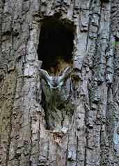 Petit-duc maculé / Eastern Screech Owl (Robert Dupont) Tags: robertdupont lightzone sigma150500mmf563apodghsmos oiseaudeproie birdofprey petitducmaculé easternscreechowl parcangrignon