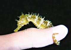 caballito de mar en mi dedo/seahorse in my finger (jjulio2311) Tags: seahorse underwater macro fish animal nature spain españa hippocampus mar sea menor pez caballito