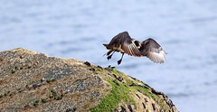 Pomarine Skua J78A0687 (M0JRA) Tags: birds flight flying wildlife rats walks gardens parks fields trees lakes ponds ducks swans rspb