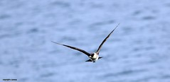 J78A0678 (M0JRA) Tags: birds flight flying wildlife rats walks gardens parks fields trees lakes ponds ducks swans rspb