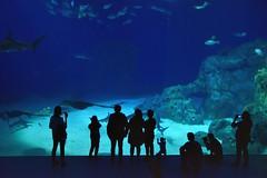 Den Blå Planet (jpellgen (@1179_jp)) Tags: denblåplanet aquarium denmark dane danish travel nikon sigma 1770mm 2018 summer august d7200 scandinavia scandinavian europe european aqaurium fish animals kastrup copenhagen kobenhavn 3xnas architecture øresund shark rays ray sharks
