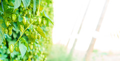 Hop vines at sunset (dwolters2) Tags: hops yakima condon agriculture