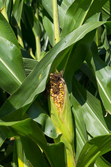 2018_08_22_ArlingtonFieldDay22 (uw-extension) Tags: agricultureresearch agronomy arlington august collegeofagriculturelifesciences corn crops farm fieldtour outdoors plants research researcher science scientist soil soilfertility soilfieldday soybeans summer tours tractor uwcooperativeextension uwextension uwmadison universityofwisconsin universityofwisconsinextension wisconsin madison