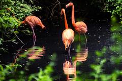 RIFLESSI ROSSI    ----    REFLECTED IN RED (Ezio Donati is ) Tags: uccelli birds animali animals acqua water alberi trees stagni ponds natura nature italia parcodelticino provinciadipavia