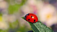 Coccinelle - 5873 (ΨᗩSᗰIᘉᗴ HᗴᘉS +22 000 000 thx) Tags: coccinele bug insect insecte macro bokeh hensyasmine namur belgium europa aaa namuroise look photo friends be wow yasminehens interest intersting eu fr greatphotographers lanamuroise