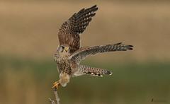 Turmfalke (Falco tinnunculus) (normen.nikon) Tags: greifvogel nikon d500 200500 bird vogel wildlife deutschland tier natur rhein emscher
