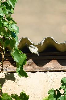 Mönchsgrasmücke am Weinstock / Monk's warbler on the vine