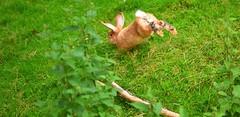I am in a hurry (maurizio.pretto) Tags: montains montagne estate summer rabbit coniglio animals animali asiago plateau italy