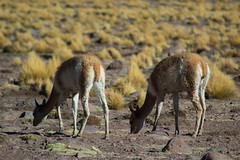 Vicuñas (rsoledadvf) Tags: chile chileanlandscape landscape canon canonphotography southamerica vicuñas animals