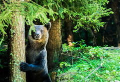 wild bear transilvania 2 (guillemmiquelerice) Tags: bear wildlife photography carpathians wilderness