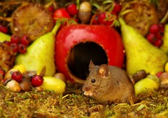 wild mouse inside a apple with Autumn fruits  (4) (Simon Dell Photography) Tags: wild mouse garden house log pile moss mossy wildlife nature animal rodent cute funny awesome colorfull high detail uk old english country card poster display autumn fall seasonal christmas design simon dell photography sheffield new fruits with berrys berries nuts acorns eye facing camera looking you george