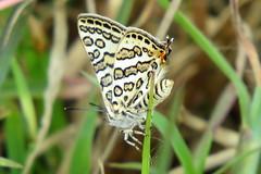 IMG_6177 (mohandep) Tags: hessarghatta lakes karnataka butterflies birding nature wildlife insects signs food