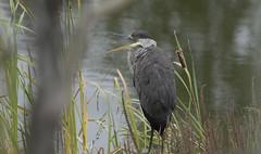Great blue heron - wind and foggy day 2 (Natimages) Tags: greatblueheron heron largebird nature naturalhabitat birding