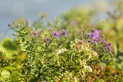 Petites fleurs riveraines (Lucien-Guy) Tags: fleurs flowers light lumière verdure