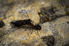 Big catch (Kaarel Kaldre) Tags: sipelgas ant putukas insect catch väike small kivi stone rock makro macro closeup loodus nature outdoor