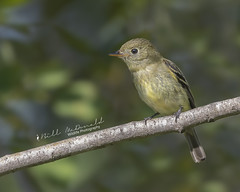 Yellow-bellied Flycatcher (Bill McDonald 2016) Tags: flycatcher avian ontario september 2018 canada billmcdonald wwwtekfxca perched perching empidonax yellowbellied