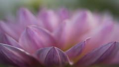 Tout proche * (Titole) Tags: dahlia titole nicolefaton shallowdof pink petals
