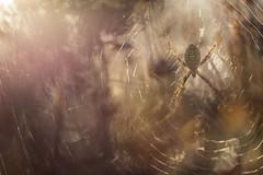 Wasp Spider (Daniel Trim) Tags: argiope bruennichi wasp spider arthropod arachnid sandy heath bedfordshire wildlife natiure macro nature uk england web insect animal