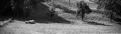 cuddling (TSET0147) Tags: canon canon7d canon35l14 canonef35mmf14lusm festbrennweite prime primelens redring llens schaf sheep landschaft landscape tset0147 tset facebookdiefestbrennweite 33degrees 33grad