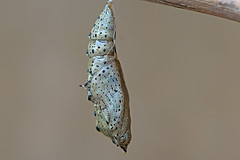 Pieris brassicae - the Large White (pupa) (BugsAlive) Tags: butterfly pupa crisálida puppe 蛹connhộng poczwarka куколка 번데기 báb pupe pop ดักแด้ animal outdoor insects insect lepidoptera macro nature pieridae pierisbrassicae largewhite pierinae wildlife swindon wiltshire liveinsects uk nikon105mm bugsalive