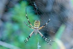 Franck-Barske-1395-Modifier-Modifier-Modifier-Modifier.jpg (franck_barske) Tags: vacances concepts argiopefrelon voyages araignée