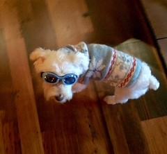 Max-Sweater-Doggles (Alpen Schatz - Mary Dawn DeBriae) Tags: happy customer alpenschatz bernesemountaindog dog swissdogcolar hunterswisscrosscollar doggles stein