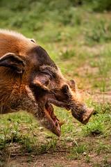 Red River Hog 3-0 F LR 5-27-18 J027 (sunspotimages) Tags: redriverhog redriverhogs riverhog riverhogs nature wildlife zoo zoos zoosofnorthamerica nationalzoo fonz fonz2018 hog hogs