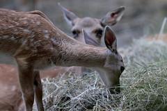 Sweet (carlo612001) Tags: fallowdeer deer daino natura animali oasidisantalessio