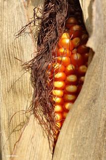 Corn in casing