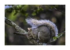 BLOW (sorrellbruce) Tags: storm squirrel windstorm