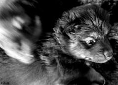 Hairy play (Ramireziblog) Tags: hairy play harig spel puppy pups hondjes dogs canon 6d kultasepän finse lappenhond