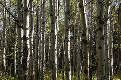 "Aspen Grove • <a style=""font-size:0.8em;"" href=""http://www.flickr.com/photos/63501323@N07/29688593117/"" target=""_blank"">View on Flickr</a>"