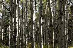 Aspen Grove (hike734) Tags: