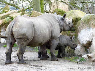 Moeder en kind(Mara) neushoorn - Blijdorp Rotterdam